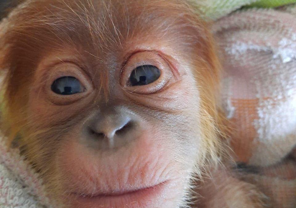 Baby Orang-oetan gered