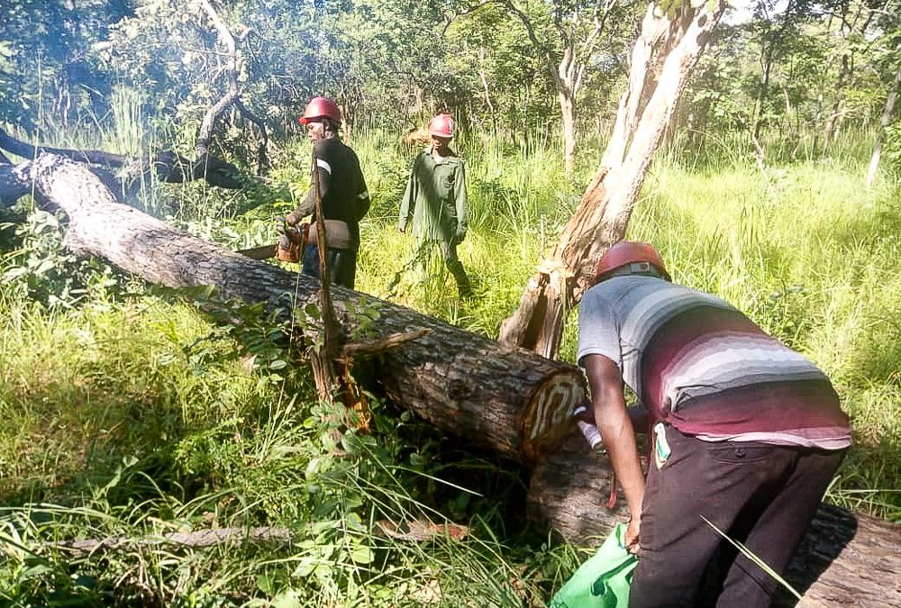 Eerste duurzame houtkap van het jaar in Tanzania