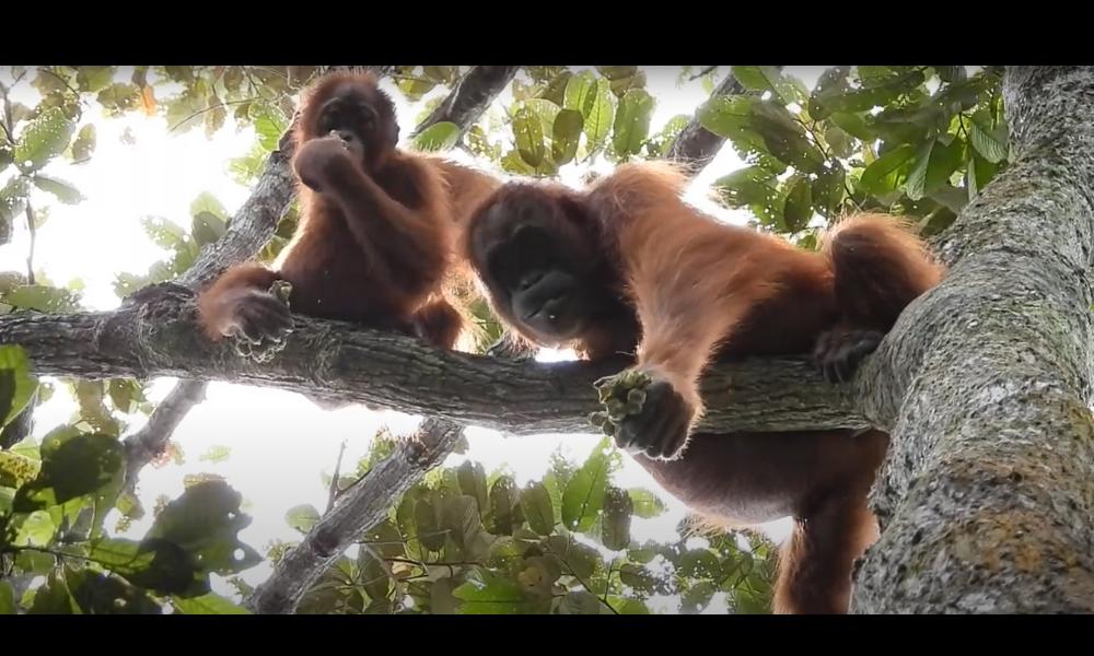 Orang-oetans gespot op restauratielocatie!