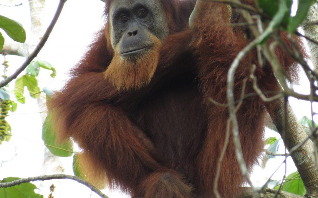 Orang-oetans gespot bij Singkil!